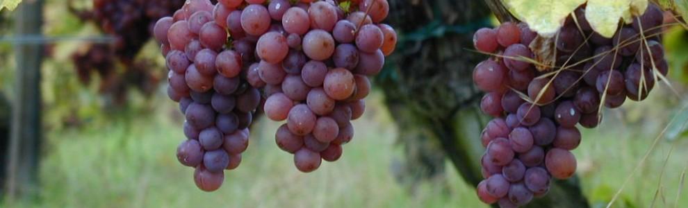 Gewurztraminer_-_raisins_sur_pied_de_vigne